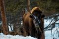 Картинка Bison, Montana, animals, wildlife, Yellowstone National Park