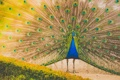 Картинка перья, хвост, павлин