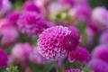 Картинка макро, цветы, природа, розовые