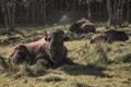 Картинка природа, фон, бизоны