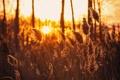 Картинка закат, природа, камышь, лето
