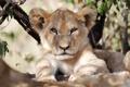 Картинка кошка, морда, тень, лев, детёныш, котёнок, львёнок