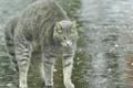 Картинка капли, дождь, кот, напуган, вздыбился, серый, вода