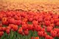 Картинка Цветы, тюльпан, красный