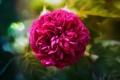 Картинка роза, rose, пышная