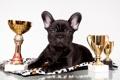 Картинка черный, награды, щенок, бульдог, французский, кубки