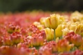Картинка размытость, бутон, тюльпаны