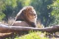 Картинка морда, отдых, хищник, лев, грива, лежит, дикая кошка