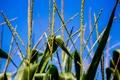 Картинка листья, поле, небо, кукуруза