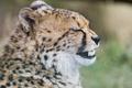 Картинка кошка, гепард, клыки, зубки, ©Tambako The Jaguar
