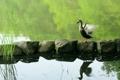 Картинка природа, птица, пруд, утка