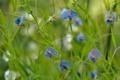 Картинка цветы, синий, душистый, горошек