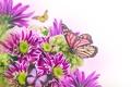 Картинка бабочки, цветы, хризантемы, листики