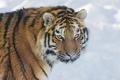 Картинка кошка, взгляд, морда, снег, тигр, амурский тигр, ©Tambako The Jaguar