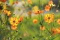 Картинка солнце, цветы, природа, оранжевая, космея