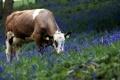 Картинка природа, корова, цветы