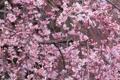 Картинка весна, ветки, вишня, цветение, лепестки, дерево, розовый