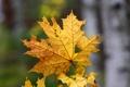 Картинка макро, природа, лист, клён