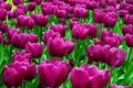 Картинка цветок, цветы, природа, весна, лепестки, тюльпаны, бутоны