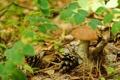 Картинка трава, листья, макро, гриб, шишки