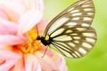 Картинка цветок, макро, розовый, бабочка, георгина