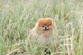 Картинка пёс, трава, шпиц, собака