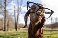 Картинка фон, очки, Goat