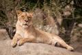 Картинка отдых, кошка, львица, камень