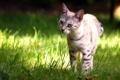 Картинка лето, кот, взгляд, лужайка