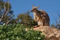 Картинка листья, камень, кенгуру