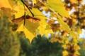 Картинка осень, листья, лучи, свет, ветка, клён, солнышко
