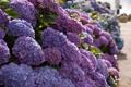 Картинка гортензия, кусты, макро, цветы