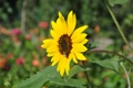 Картинка пчела, подсолнух, Цветок