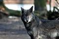 Картинка хищник, волк, взгляд