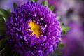 Картинка цветок, бутон, астра, листики