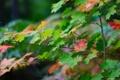 Картинка осень, клен, макро. листья