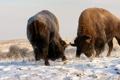 Картинка снег, природа, бизоны