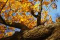 Картинка осень, листья, солнце, природа, дерево, день, клен