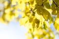 Картинка осень, небо, листья, дерево, желтые, крона