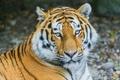 Картинка полоски, тигр, отдых, хищник, амурский
