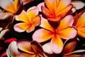 Картинка природа, растение, лепестки, плюмерия, франжипани