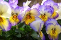 Картинка цветы, лепестки, анютины глазки, виола