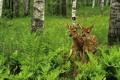 Картинка лес, деревья, олененок, берёзы, роща