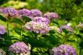 Картинка листья, цветы, куст, лепестки, цветение, гортензия