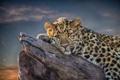 Картинка взгляд, отдых, леопард