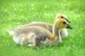 Картинка grass, травка, милашки, cutie, маленькие утята, small ducklings