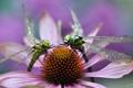 Картинка цветок, роса, стрекозы, утро, макро, пара