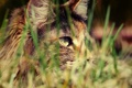 Картинка кошка, трава, охота, травинки, трехцветная, пятнистая