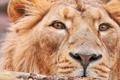 Картинка усы, взгляд, морда, лев, крупным планом