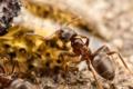 Картинка насекомые, муравьи, боке